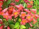 I fiori della Bignonia